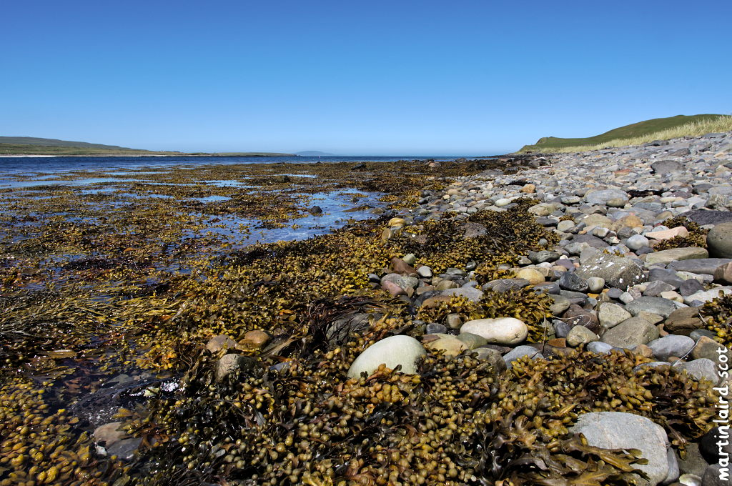 Yellow-brown seaweed on a rocky Egilsay shoreline, on a clear sunny day.