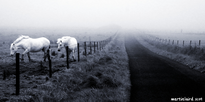 A pair of white horses walking towards the camera in a field while the road recedes into the mist.
